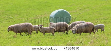 The Sheep Farm And Silage Background In Green Farm Summer, Countryside In New Zealand.