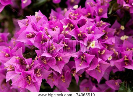 Leafy bougainvillea plant with pink flowers
