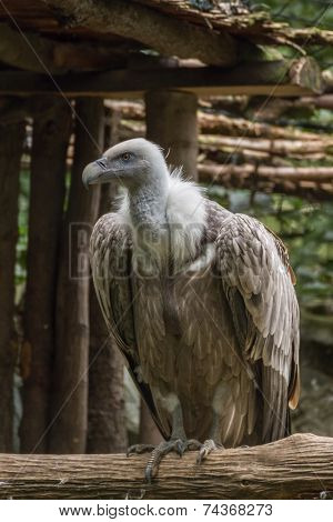 Big Griffon Vulture sitting on the branch and observing