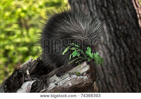 Porcupette (erethizon Dorsatum) Nibbles On Greenery