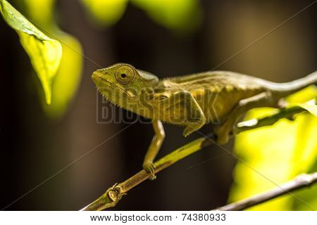 Colorful Chameleon Of Madagascar, Very Shallow Focus