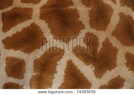 Real giraffe fur - skin close-up