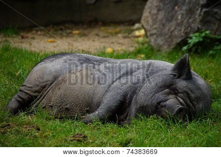 Black pig lying and sleeping