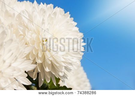 White Daisy Flower Under The Sky