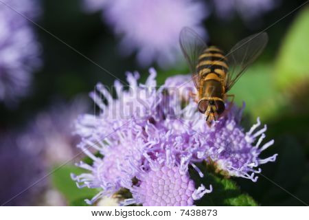 bee carabinae sitting on a purple flower ageratum