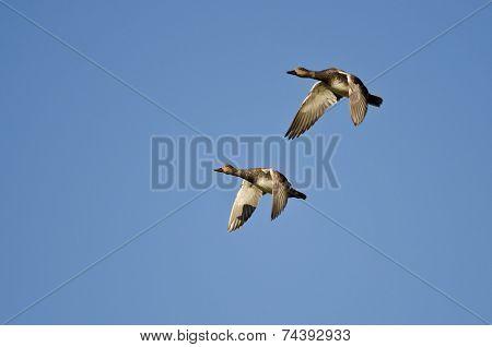 Pair Of American Wigeons Flying In A Blue Sky