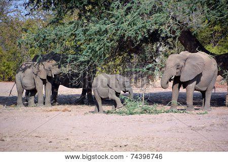 Desert elephants