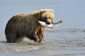 picture of omnivore  - Grizzly Bear with caught salmon in mouth - JPG