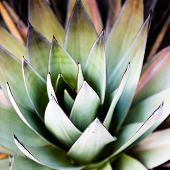 stock photo of spiky plants  - Endemic plant from Mount Roraima in Venezuela - JPG