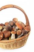 foto of boletus edulis  - The raw boletus edulis in a basket - JPG