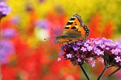 stock photo of heliotrope  - butterfly urticaria in profile sitting on a purple flower heliotrope macro photography - JPG