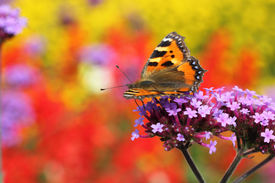 foto of heliotrope  - butterfly urticaria in profile sitting on a purple flower heliotrope macro photography - JPG