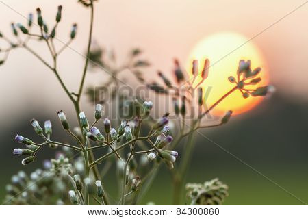 Flower Grass And Summer Sunset