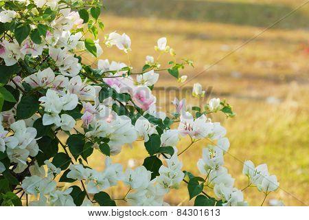 Bougainvillea, Paper Flower