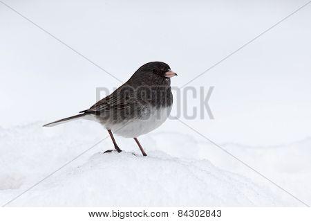 Junco In Snow