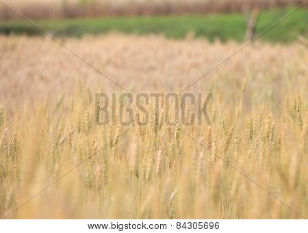 Barley Field Of Agriculture Rural Scene