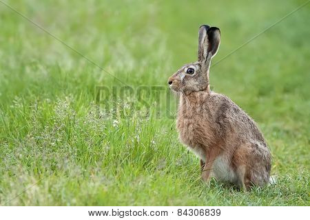 Hare in the wild