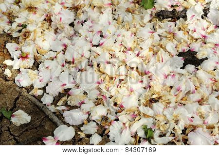 Fallen Almond Petals.