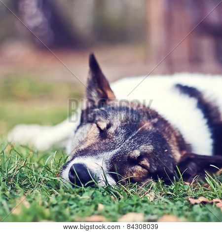 Dog laika sleeping in the grass