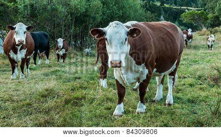 White Head Cattle