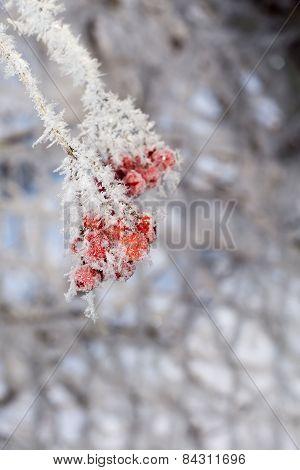 Frozen Rowan