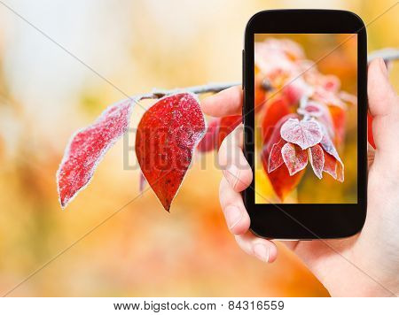 Tourist Taking Photo Of Frozen Leaves In Autumn