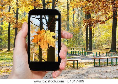 Tourist Taking Photo Of Maple Leaf In Autumn Park
