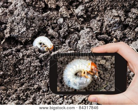 Man Taking Photo Of White Grub Of Cockchafer