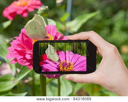 Tourist Taking Photo Of Butterfly Brimstone