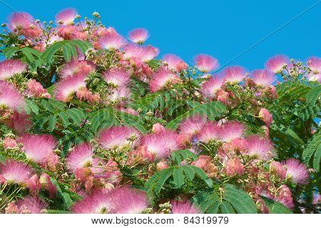 Flowers Of Acacia (albizzia Julibrissin)