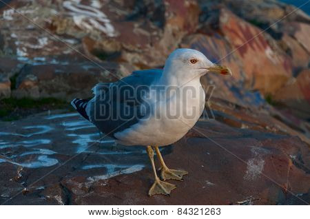 gray seagull