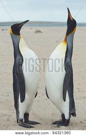 King Penguins Meet on a Sandy Beach