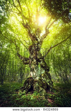 Magic Tree. Beautiful Spring Sunrise In The Forest