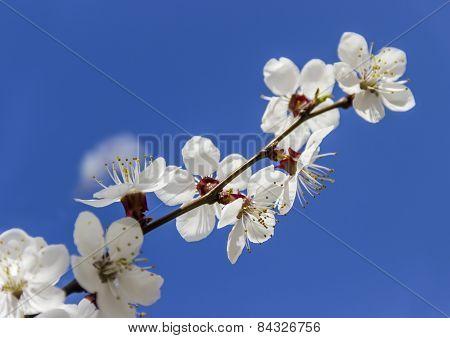 Apricot Branch