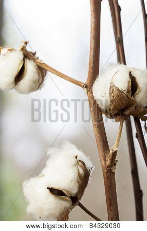 Fresh White Cotton Bolls Ready For Harvesting