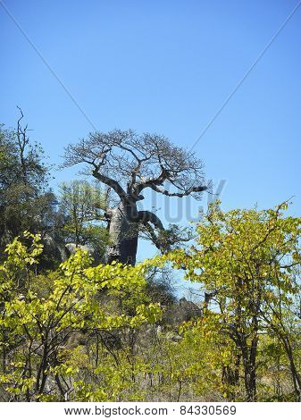 baobab tree in Kruger national park savannah, South Africa