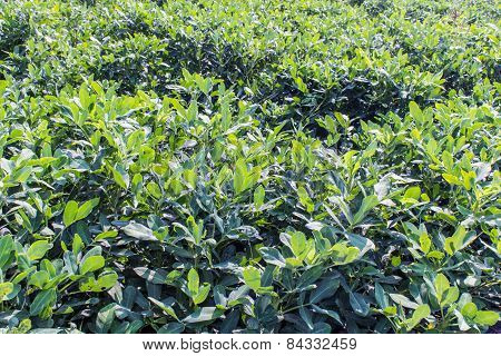 Growth In The Fields Of Green Peanut