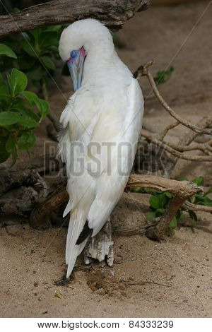 Albino Blue-footed Booby