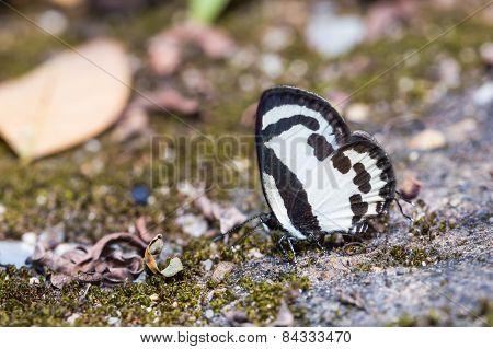 Straight Pierrot Butterfly