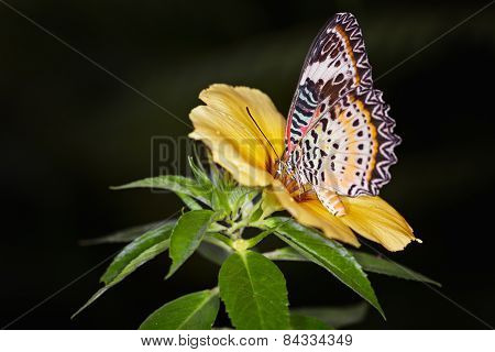 Monarch Butterfly On A Yellow Alamanda Flower, Danaus Plexippus