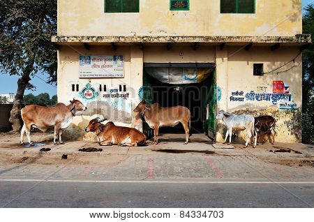 Sacred Cattles Near The House On The Street In Vrindavan