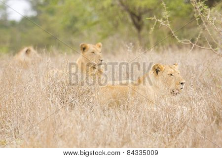 three lions family lying down in the bush, Kruger, South Africa