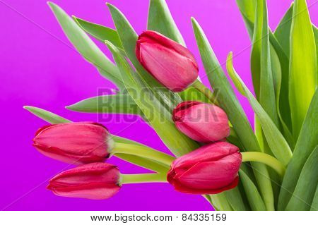 Crimson tulip flower on purple background