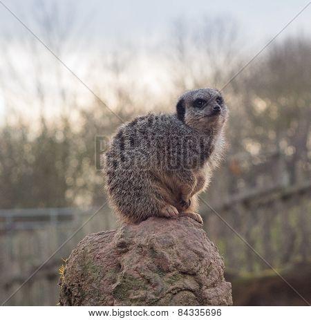 Meerkat sat on stone