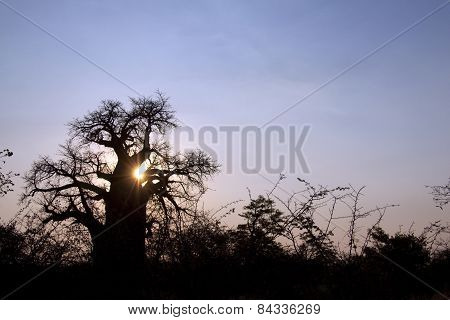 Large old baobab tree in the afternoon sun's glow