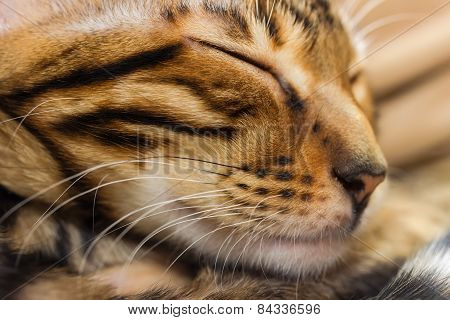 Sleeping Red Tabby Kitten, Close-up.