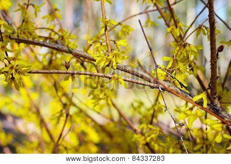 Forsythias Flowers