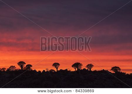 Sunset in a Quivertree forest located in Namibia.