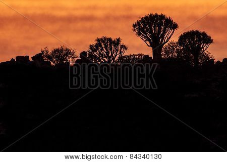 Quivertree sunset