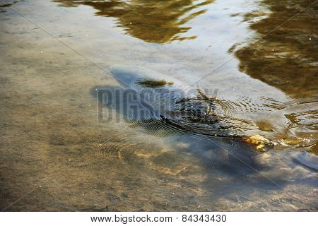 Brown Trout In Pond